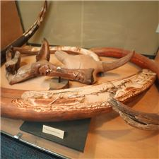 Wooly Mammoth Tusk Display